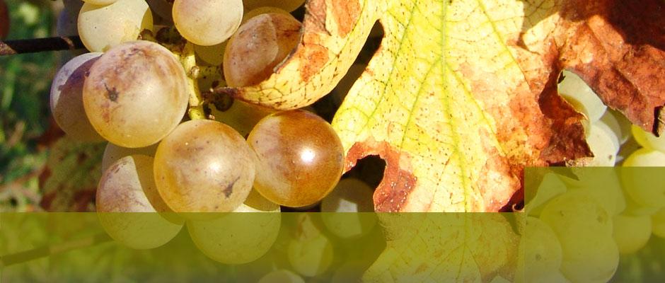 Kutjevački vinari - Udruga vinara i vinogradara
